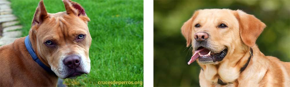 Cruce de Labrador con pitbull
