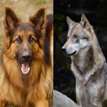 Cruce pastor alemán con lobo